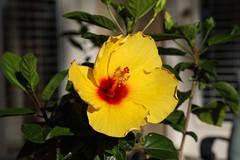 Good Morning! (ScorpioChristo) Tags: hibiscus canon5dmarkiv yellowflower texas tx seabrook canonef24105mmf4lisusm
