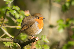 Robin - All plumped up D50_5089.jpg (Mobile Lynn) Tags: robin birds nature wild bird fauna oscines passeri passeriformes songbird songbirds wildlife silverdale england unitedkingdom gb coth coth5 sunrays5