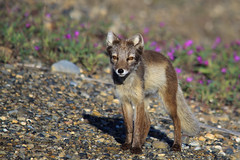 Arctic Fox Summer Phase (blkwolf1017) Tags: arcticfox fox brown eyes small tundra prudhoebay alaska canon50d sigma150500mm