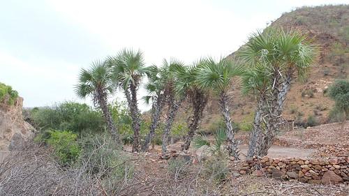 Djibouti_2014 - Palmiers près de Dougoum