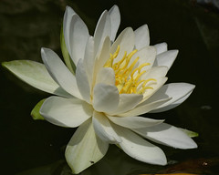 Water lily (Peanut1371) Tags: waterlily lily flower