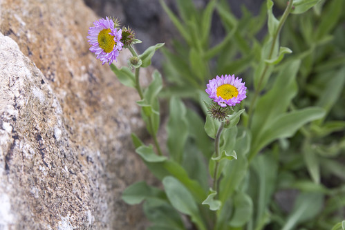 Asters off the trail