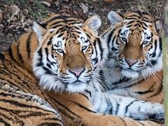 Tiger, Tiger (Maria-H) Tags: pantheratigrisaltaica amurtiger yorkshirewildlifepark yorkshire uk panasonic gh4 dmcgh4 100400 branton england unitedkingdom gb siberiantiger