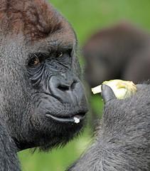 Bokito Blijdorp JN6A9040 (j.a.kok) Tags: westelijkelaaglandgorilla westernlowlandgorilla laaglandgorilla lowlandgorilla bokito blijdorp blijdorpzoo ape aap monkey primaat primate mammal zilverrug silverback