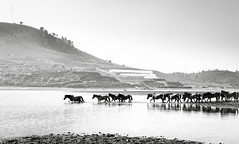 You can lead a horse to water but you can't make them drink it. (trai_thang1211) Tags: horses horse water river lake mountainside mountainscape mountain outdoor blackwhite blackandwhite monochrome black white landscape