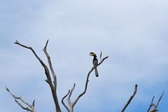 Toucan watching (Cdric Z) Tags: srilanka uda walawe national parc bird toucan
