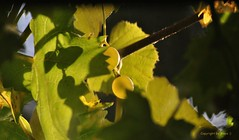 Sonnentage * Sunny days * Das de sol *     . DSC_0656-002 (maya.walti HK) Tags: 171116 2012 autumn copyrightbymayawaltihk dasdesol flickr grapes herbst nikond3000 otoo schweiz suiza sunnydays switzerland trauben uvas