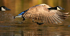 """~ The need for speed ~~ (Darrell Colby """" You Call The Shots """") Tags: londonontario ontario canada wings speed canadagoose goose need"""