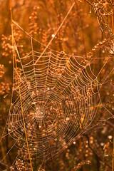 Toile Araignée (Shiva.31) Tags: invertebréarthropodearaignée arachnide insecte