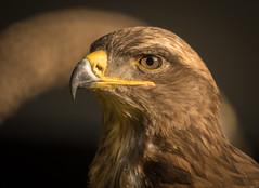 Buzzard (Matt H. Imaging) Tags: ©matthimaging bird birdofprey animal fauna wildpark gangelt germany buzzard closeup sony slt sonyalpha slta77ii sal500f8 minolta 500mm minolta500f8reflex minoltaaf500mmf8reflex mirrorlens sal500f80