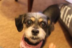 IMG_3270 (fschaub3) Tags: puppies puppy pets dogs yorkie shorkie pomchi