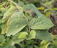 Crimson Sunbird - Aethopyga siparaja (juvenile) (amitbandekar) Tags: aethopyga siparaja sunbird corbett india uttarakhand