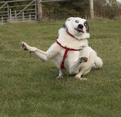Doggie Haka (Paul M Loader) Tags: funnydog caninehaka rescue playful playbow canon5dmkivmk4 ef70200mmf28