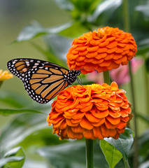 Double Trouble.. (zoomclic) Tags: canon closeup colorful 5dmarkii flower foliage zinnia orange green butterfly dof dreamy bokeh nature summer plant garden outdoors zoomclicphotography