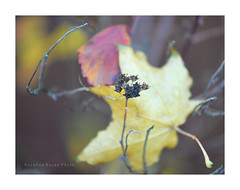 Late autumn (drabos62) Tags: autumn leaves nature plants seedpods spirea