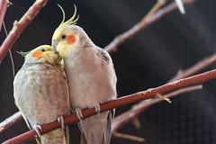 ([TheClay]) Tags: nikon d5200 55200mm zoo animal bird cockatoo