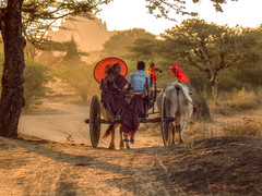 myanmar (sandilesmana28) Tags: myanmar birma red umbrella cow transportation travel