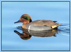 Green-Winged Teal (Ed Sivon) Tags: american america canon nature lasvegas water wildlife wild western southwest sun duck ducks desert clarkcounty clark color vegas red bird henderson nevada nevadadesert preserve green