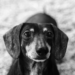 Slinky03Dec1600012-Edit.jpg (fredstrobel) Tags: dogs pawsatanta phototype atlanta blackandwhite usa animals ga pets places pawsdogs decatur georgia unitedstates us