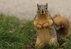 Squirrel, Morton Arboretum. 374 (EOS) (Mega-Magpie) Tags: canon eos 60d nature wildlife squirrel green grass the morton arboretum lisle dupage il illinois usa america