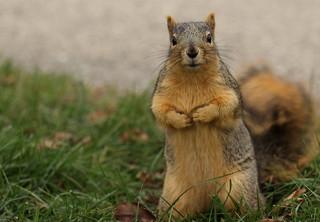 Squirrel, Morton Arboretum. 374 (EOS)