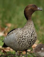 Australian Wood Duck (Edwinna Bartley) Tags: australianbirds backyardbirds sydney nsw sydneyroyalnationalpark royalnationalpark australianwoodduck chenonettajubata