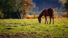2016 10 29 - Sunset-12 (OliGlo1979) Tags: fuji luxembourg xt2 xf50140 landscape sunset horse silhouette
