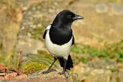 DSC_8589 (sylvettet) Tags: bird 2016 nature pie nikon oiseau magpie