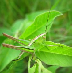 (Bicolorana bicolor) ? (Gansucha) Tags: orthoptera tettigoniidae bicolorana
