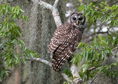 Evening Encounter (PeterBrannon) Tags: bird birdphotography florida lakeland nature shadows strixvaria wildlife barredowl eyecontact owl spanishmoss