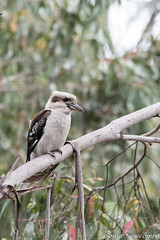 SLN_0485 (sonja.newcombe) Tags: wildlife nikon d500 tidbinbilla canberra australia bird kookaburra
