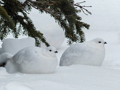 01 Resting on a bed of snow (annkelliott) Tags: alberta canada kananaskis rockymountains canadianrockies nature ornithology avian bird birds whitetailedptarmigan lagopusleucura females juveniles white two lyinginthesnow smallestgrouseinnorthamerica alpine featheredtoes camouflage snow fall autumn outdoor 23november2016 fz200 fz2004 annkelliott anneelliott anneelliott2016 allrightsreserved