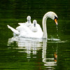 Swan with two Cygnets - Stourhead Wiltshire (Macro light) Tags: swan cygnet stourhead wiltshire