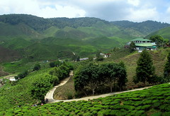 Cameron Highlands (PeterCH51) Tags: green landscape scenery tea farming hills malaysia agriculture tanahrata cameronhighlands teaplantation teaestate 5photosaday mywinners peterch51 flickrtravelaward