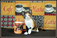 Leilani  -- 5/25/2013 (Cat's Eye View (Dawn Marie)) Tags: rescue pet cat cafe kitten mocha calico adoption leilani