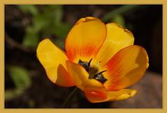 Mature Tulip (Sergei P. Zubkov) Tags: flowers may vyborg