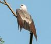 Mississippi Kite (Ictinia mississippiensis)