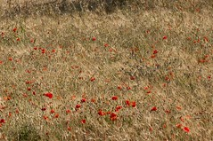 grano e fiori (Michele d'Ancona) Tags: flowers italy field italia wheat campo fiori marche grano ancona offagna campocoltivato cultivatedfield