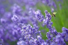 (zyryntyrah) Tags: uk flower field farm lavender surrey bee mayfield banstead sirintira zyryntyrah