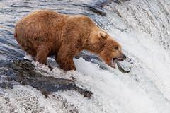 IMG_2249 (mjtseng) Tags: bear fish wa