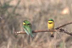 Little Bee-eater - Zwergspint (Kasmeneo) Tags: africa animals tanzania serengeti vögel vogel beeeater tansania littlebeeeater bienenfresser zwergspint