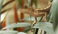 A Lizard (hafizh.arbi) Tags: nature lizard kadal