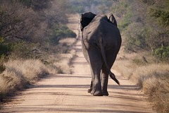 Traffic jam in Africa (Jimmy Svensson) Tags: elephant animals southafrica lumix wildlife safari trafficjam photosafari krugerpark kruger africanelephant wildanimals loxodontaafricana africanbushelephant lumixgx1 panasoniclumix100300mmf4056gvarioasphericalmegaois africantrafficjam panasoniclumix100300mmf4056 lumix100300mmf4056