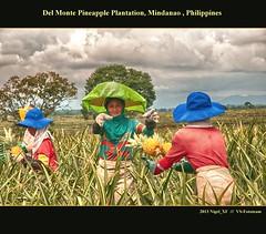 Del Monte Pineapple Plantation ... Mindanao, Philippines (nigel_xf) Tags: fruits nikon philippines pineapple ananas nigel planting mindanao ernte anbau philippinen frchte delmonte plantage d300 plantagen pflanzung nikond300 nigelxf vsfototeam