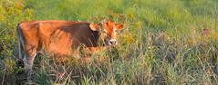 How now brown cow ? (jwalkr4) Tags: cow horns pasture hay sept v2 vt 2013 nikon1