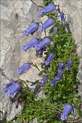 Campanula-zoysii_16 (amadej2008) Tags: campanula campanule campanulazoysii zvonica zoisovazvonica taxonomy:binomial=campanulazoysii zvonice