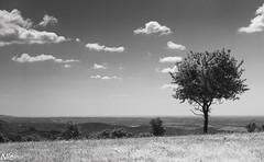 Dry (Nic Stoetman) Tags: bw white black france hot tree de dry zomer frankrijk wineyard domaine droog wijngaard heet montesquieu