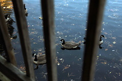 Through the Railings 10-27-13 (58) (MelenaMe) Tags: lake nature water leaves animal swimming outdoors duck leaf pond ducks floating railing railings