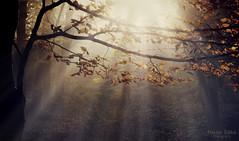 the gray veil / az sz ftyla (heizer.ildi) Tags: morning trees light mist fall nature leaves fog forest rays mygearandme vision:sunset=0502 vision:outdoor=0613 vision:sky=0822