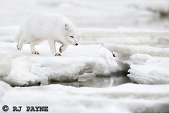 (RJ Payne) Tags: bear snow canada cold heritage ice nature river photography bay rj action wildlife north lodge manitoba arctic seal fox shutter hudson traveling polar mammals twisted payne the